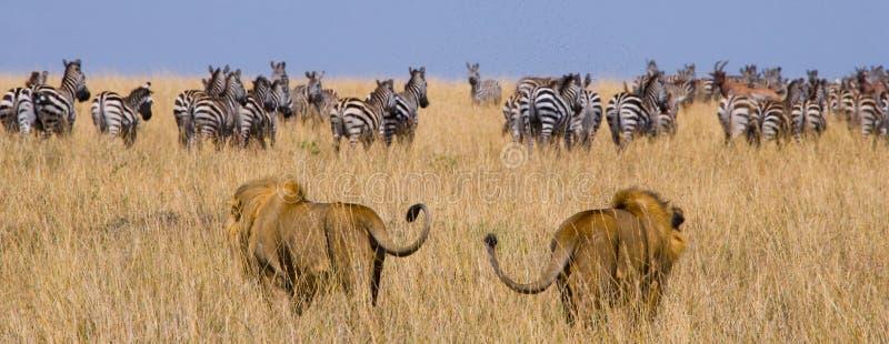 Dos leones masculinos grandes en la caza Parque nacional kenia tanzania Masai Mara serengeti imagen de archivo