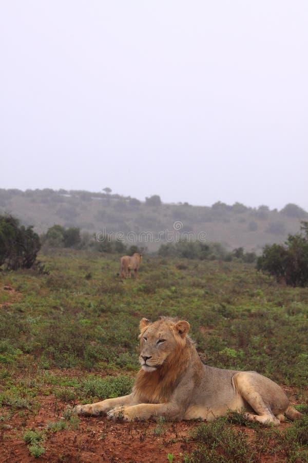 Dos leones salvajes en la lluvia fotografía de archivo libre de regalías