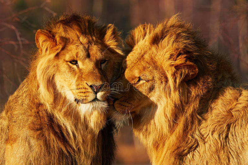 Dos leones se cierran juntos imagen de archivo