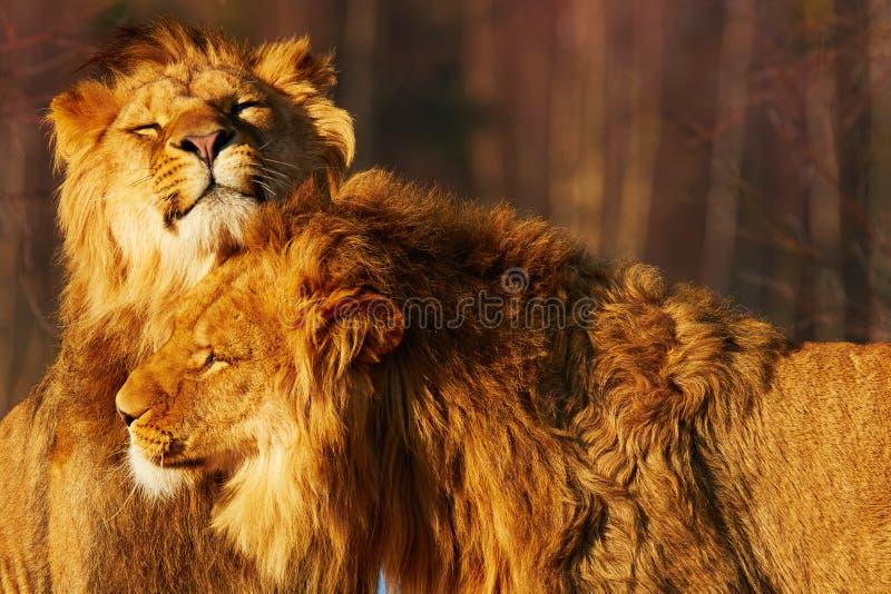 Dos leones se cierran juntos fotos de archivo