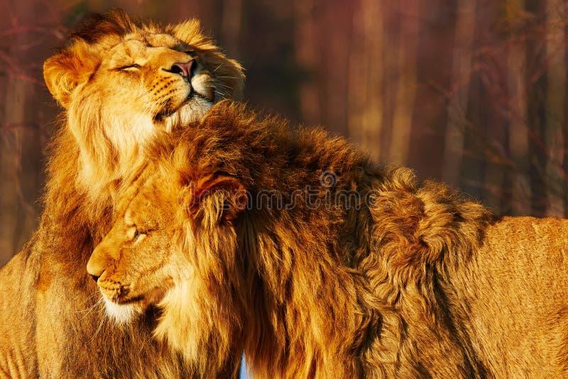 Dos leones se cierran juntos fotografía de archivo