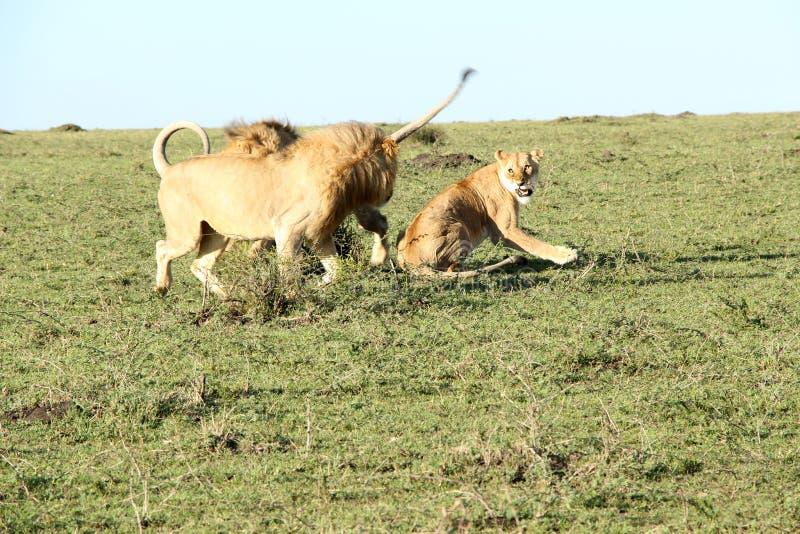 Dos leones y luchar masculinos de la leona fotos de archivo