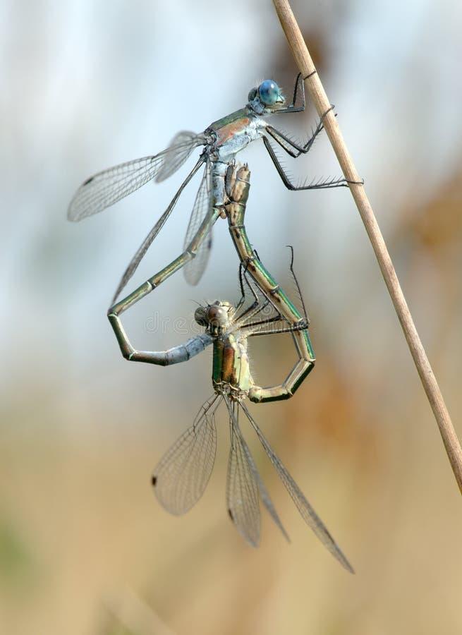 Dos libélulas imágenes de archivo libres de regalías