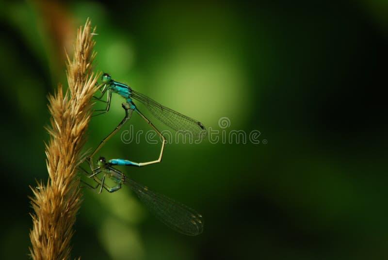 Dos libélulas azules que se sientan en hierba marrón imagenes de archivo