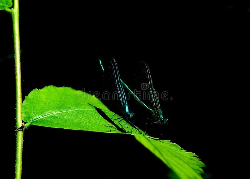 Dos libélulas en un fondo oscuro fotos de archivo