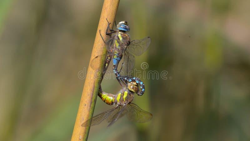 dos libélulas que juegan en un tronco de la hierba fotografía de archivo libre de regalías