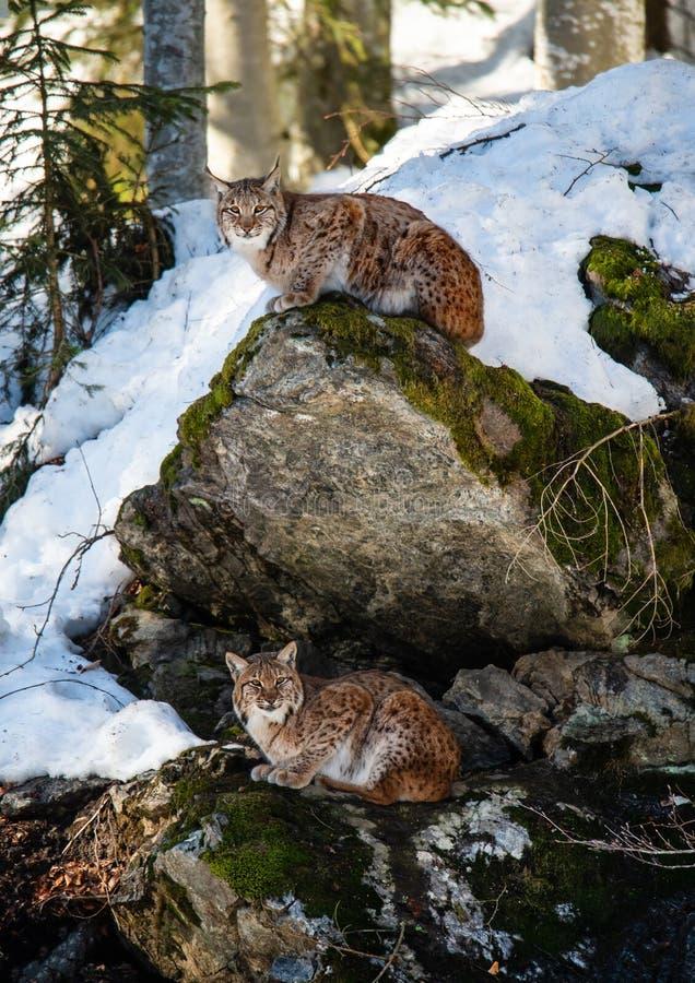 Dos linces que descansan sobre piedras cubiertas de musgo en el bosque nevoso del invierno - bosque bávaro del parque nacional imagenes de archivo