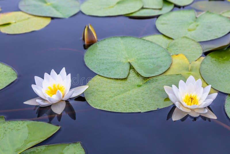 Dos lirios de agua blanca con verde se van en el surfa inmóvil del lago imagen de archivo libre de regalías