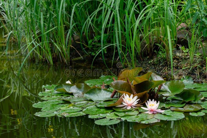 Dos lirios de agua o flores de loto rosados que sorprenden Marliacea Rosea en la charca vieja Nympheas es floración entre enorme foto de archivo