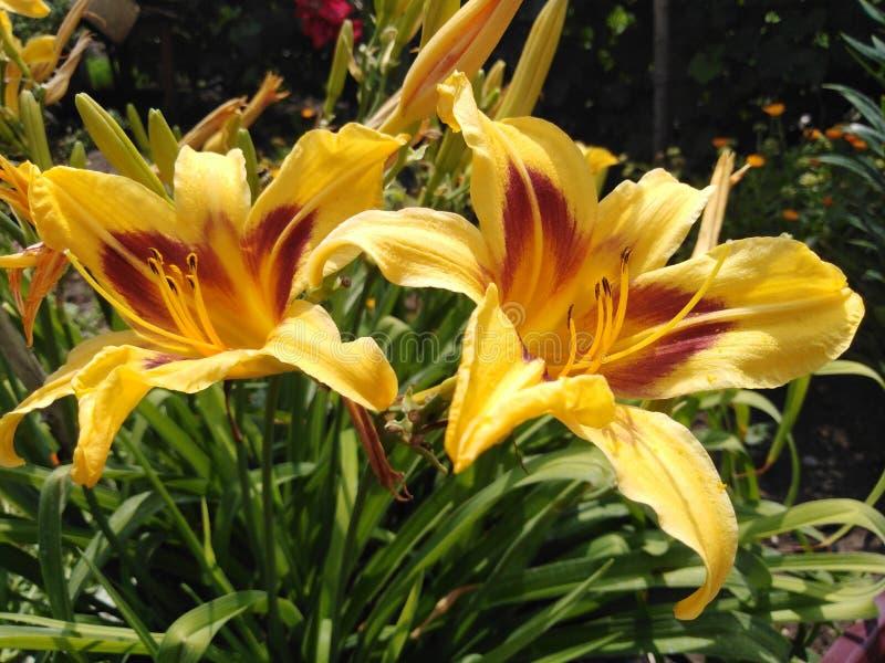 Dos lirios florecen maravillosamente en el sol fotos de archivo