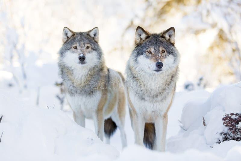 Dos lobos en bosque frío del invierno imagen de archivo libre de regalías