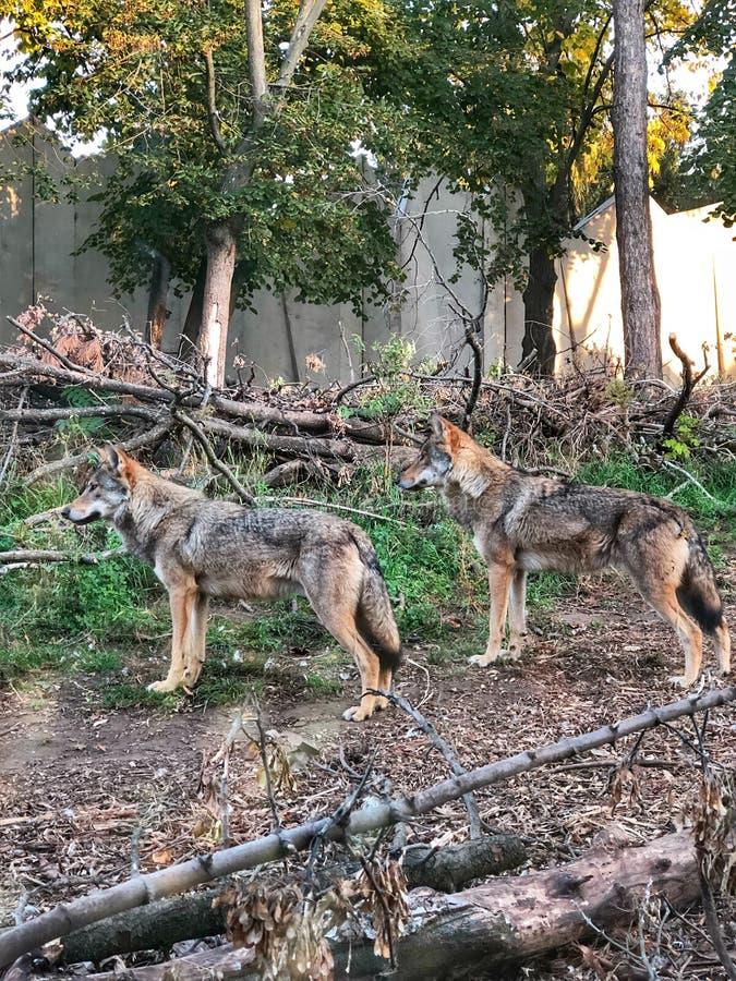 Dos lobos miran en la distancia fotos de archivo