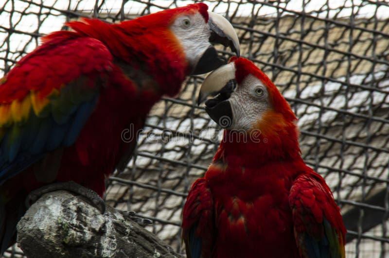 Dos loros del Macaw imágenes de archivo libres de regalías