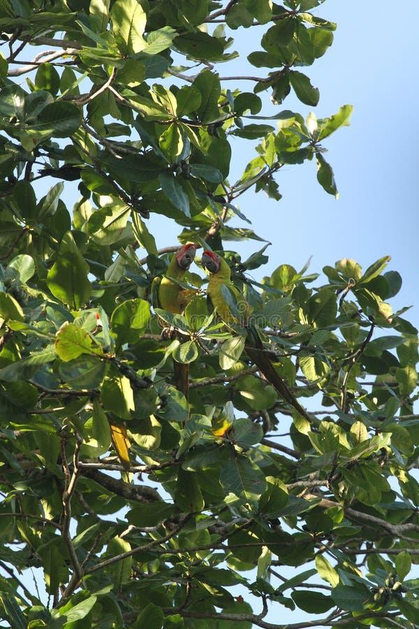 Dos loros verdes, Costa Rica fotografía de archivo libre de regalías