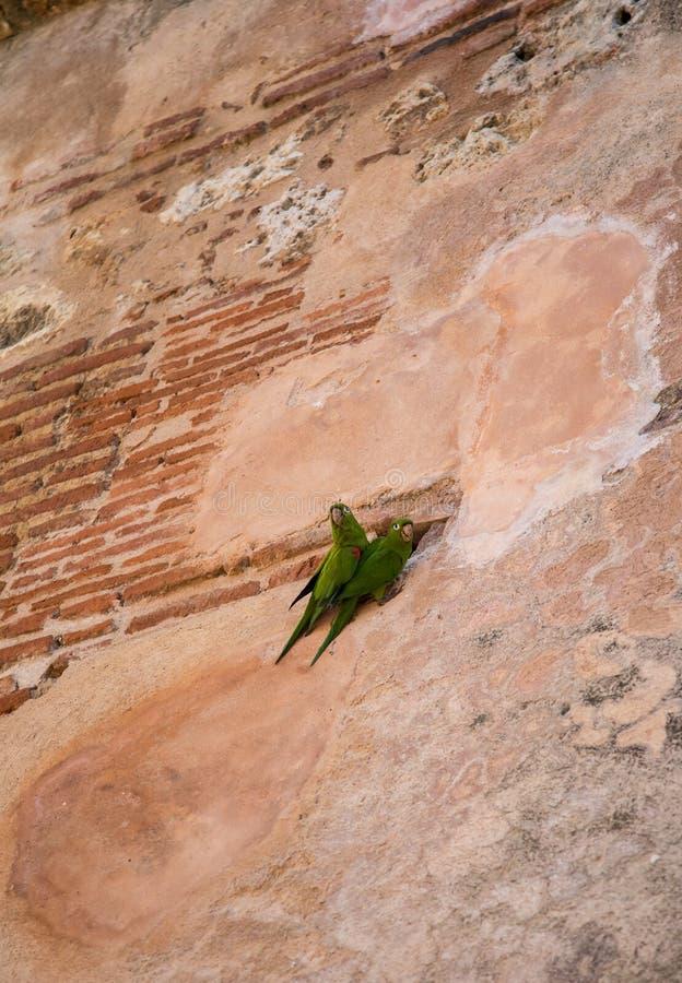 dos loros verdes en una pared fotografía de archivo