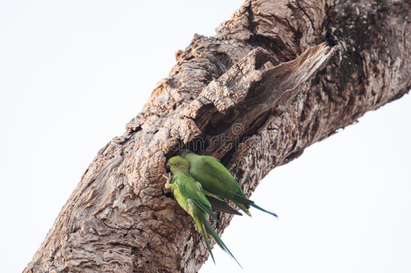 Dos loros verdes se encaramaron en un tronco de árbol viejo fotografía de archivo
