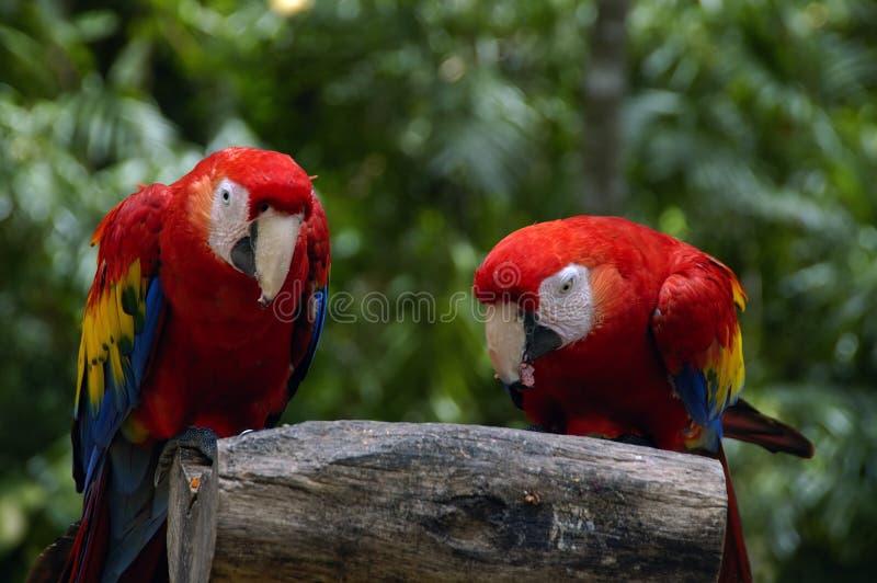 Dos Macaws foto de archivo