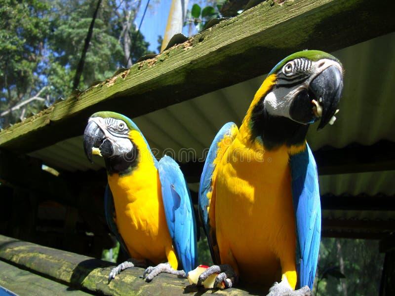 Dos macaws azul-y-amarillos foto de archivo