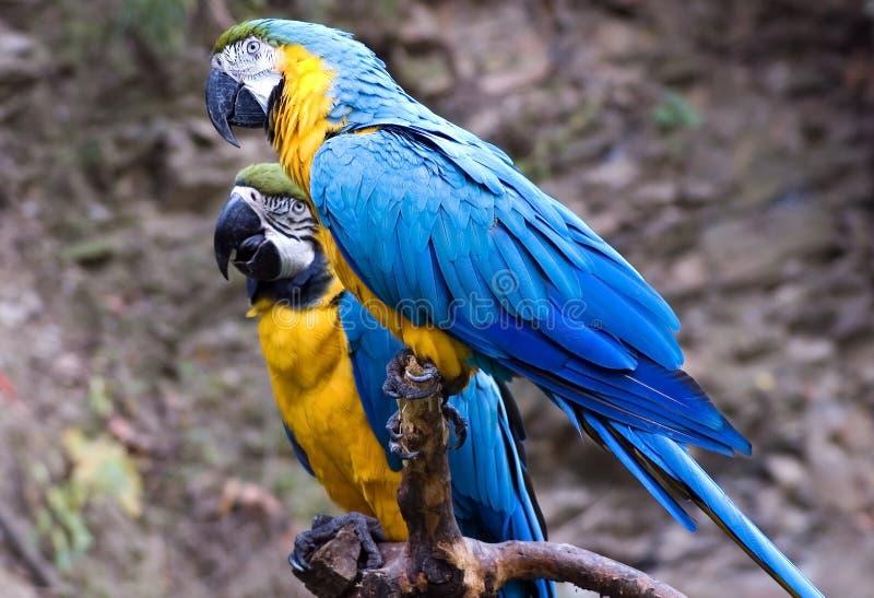 Dos Macaws azules y del oro foto de archivo
