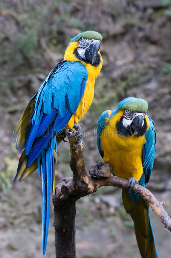 Dos Macaws azules y del oro imagen de archivo libre de regalías