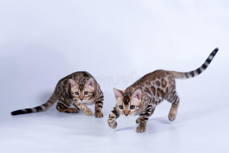 Dos mancharon gatos de la raza de Bengala imagen de archivo libre de regalías