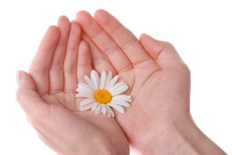 Dos manos de las mujeres que sostienen una flor de la margarita foto de archivo