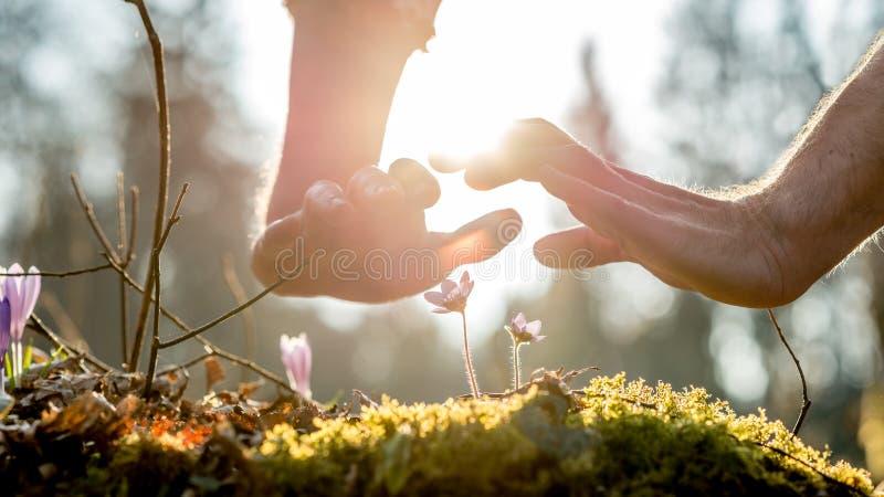 Dos manos protectoras sobre las flores salvajes frágiles fotografía de archivo