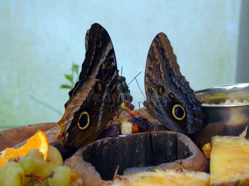 Dos mariposas que alimentan en la fruta imagenes de archivo