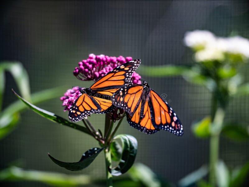 Dos mariposas que consiguen un cierto Sun en una flor imágenes de archivo libres de regalías