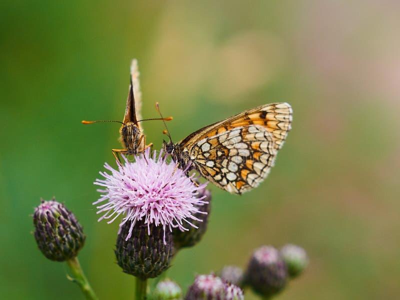Dos mariposas que se sientan en una flor púrpura imagenes de archivo