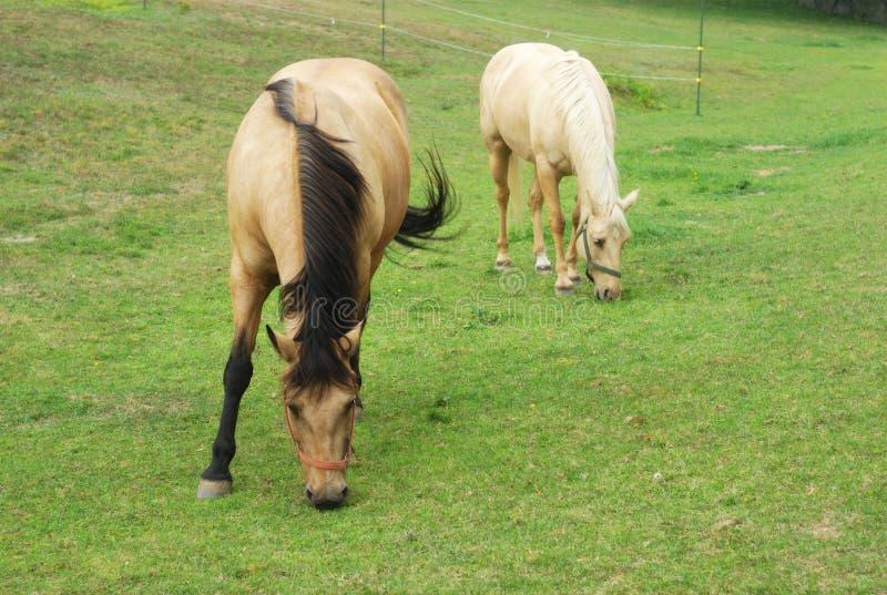 Dos marrones y caballos beige que comen la hierba en un campo imagen de archivo