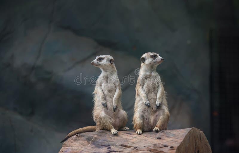 Dos Meerkat, Suricate en el parque zoológico fotos de archivo