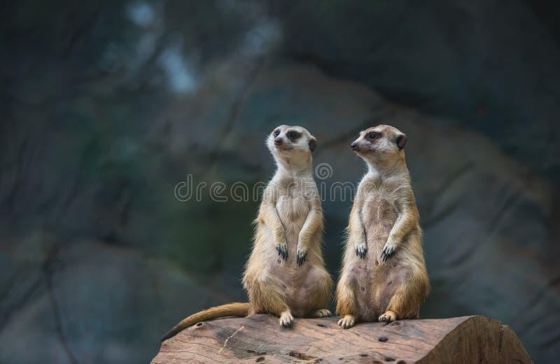 Dos Meerkat, Suricate en el parque zoológico imagen de archivo libre de regalías