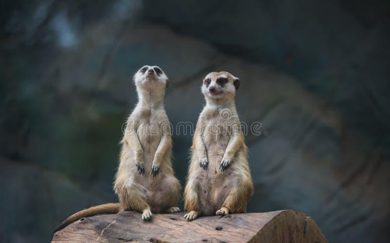 Dos Meerkat, Suricate en el parque zoológico imagen de archivo