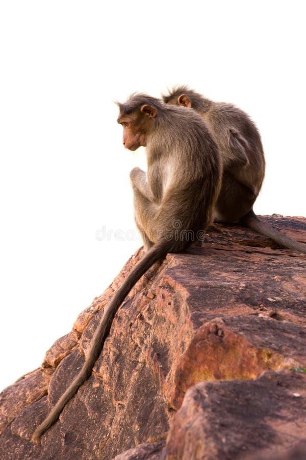 Dos monos aislados imagenes de archivo