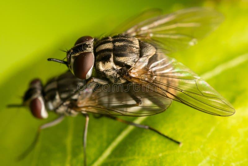 Dos moscas de acoplamiento - díptero fotografía de archivo