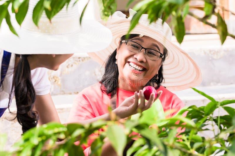 Dos mujeres asiáticas que cosechan juntas las frutas rojas orgánicas fotografía de archivo