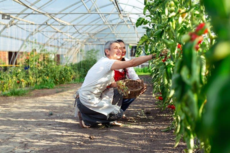 Dos mujeres que trabajan en el invernadero, cosechando los tomates en invernadero fotos de archivo