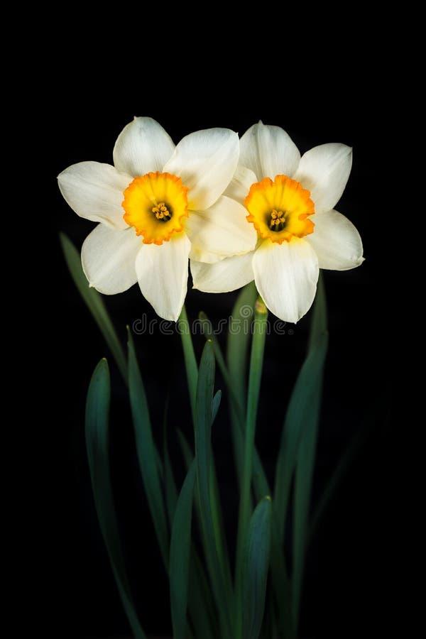 Dos narcisos de las flores en un fondo negro imagen de archivo