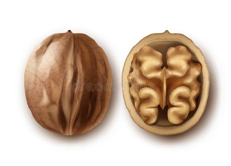 Dos nueces maduras stock de ilustración