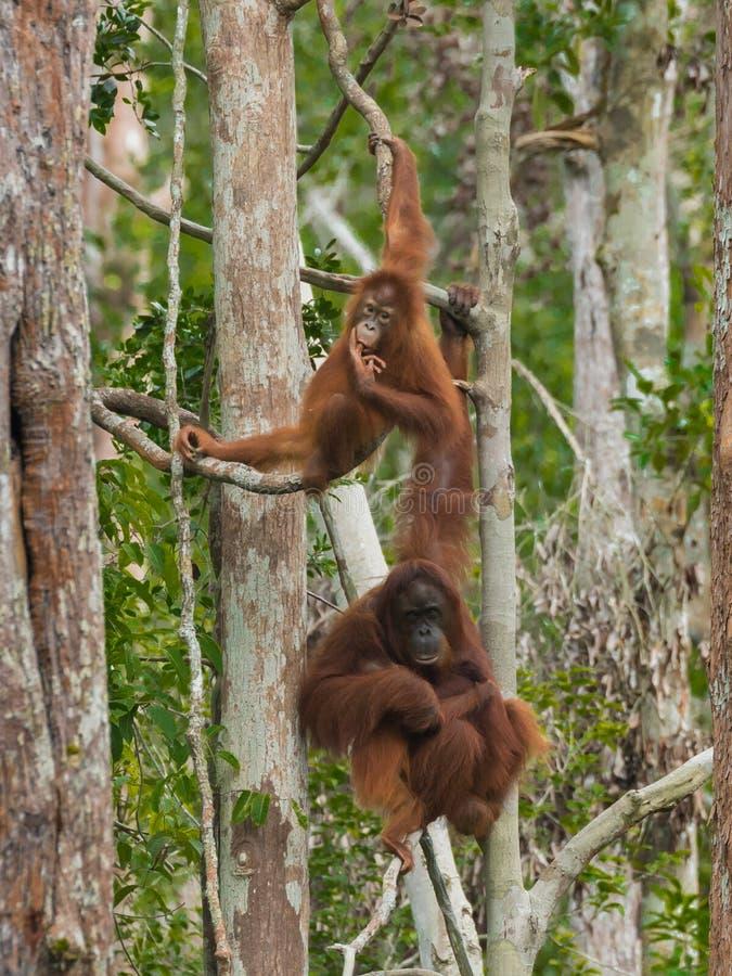 Dos orangutanes gastan su ejecución del tiempo en árboles en la selva de Indonesia imagen de archivo