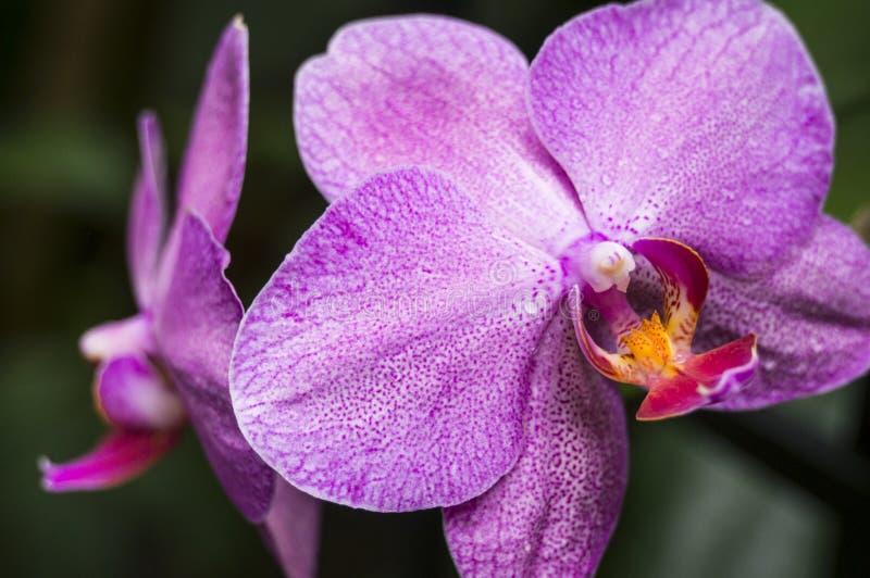 Dos orquídeas manchadas púrpuras con un fondo verde oscuro natural del follaje imagen de archivo libre de regalías