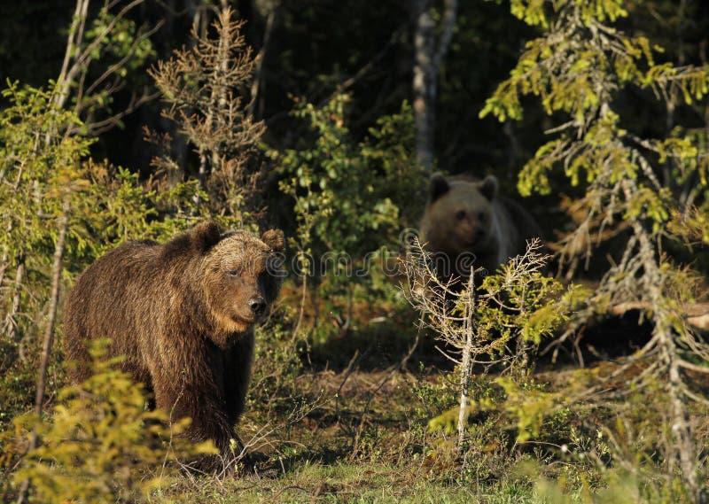 Dos osos de Brown del eurasiático fotografía de archivo libre de regalías
