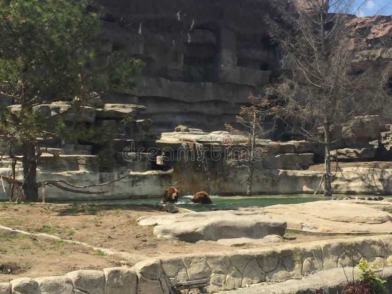 Dos osos grizzly que nadan y que juegan en los mamíferos grandes del agua en un día de verano caliente que disfrutan de la natura imagen de archivo
