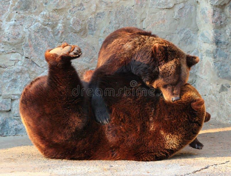 Dos osos marrones (arctos del Ursus) que juegan en un parque zoológico foto de archivo libre de regalías