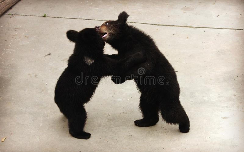 Dos osos marrones Manchu o el oído melenudo lleva el luchar imagen de archivo libre de regalías