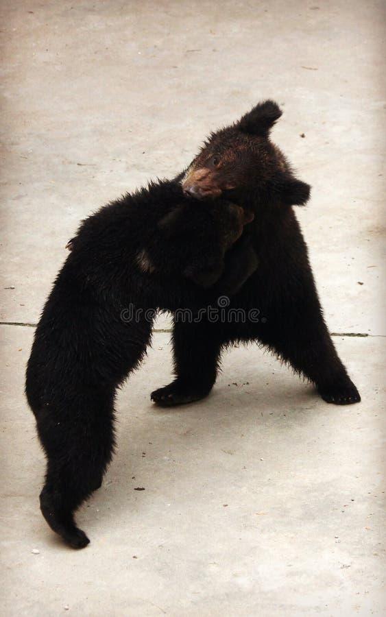 Dos osos marrones Manchu o el oído melenudo lleva el luchar fotos de archivo libres de regalías