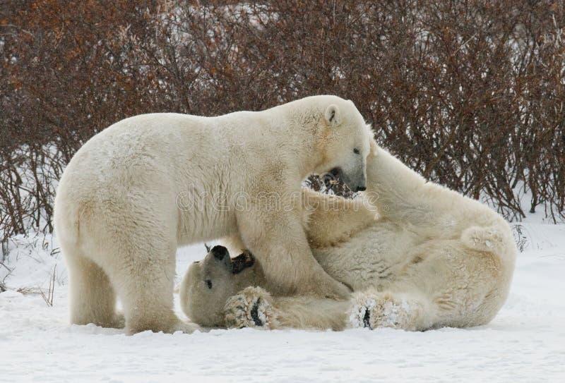 Dos osos polares que juegan con uno a en la tundra canadá imagenes de archivo