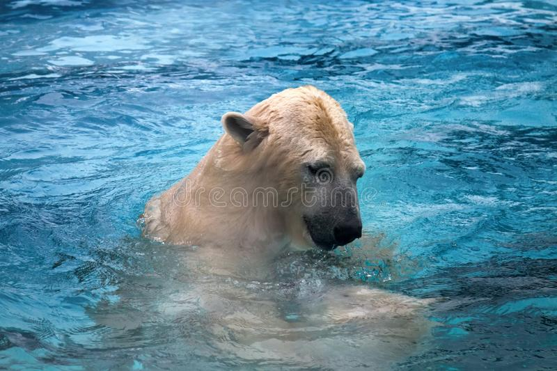 Dos osos polares que juegan en agua imagen de archivo