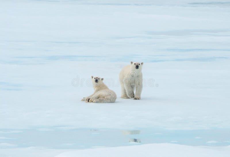 Dos osos polares que se sientan en el hielo y la nieve en el ártico fotografía de archivo libre de regalías